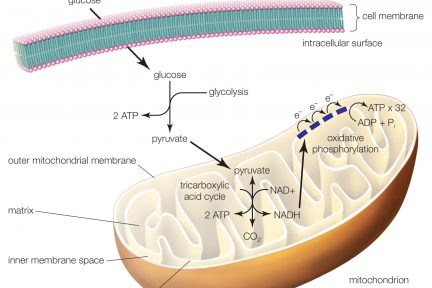 Миниатюра для записи Тканевое дыхание (аэробный ресинтез АТФ) в мышечных волокнах