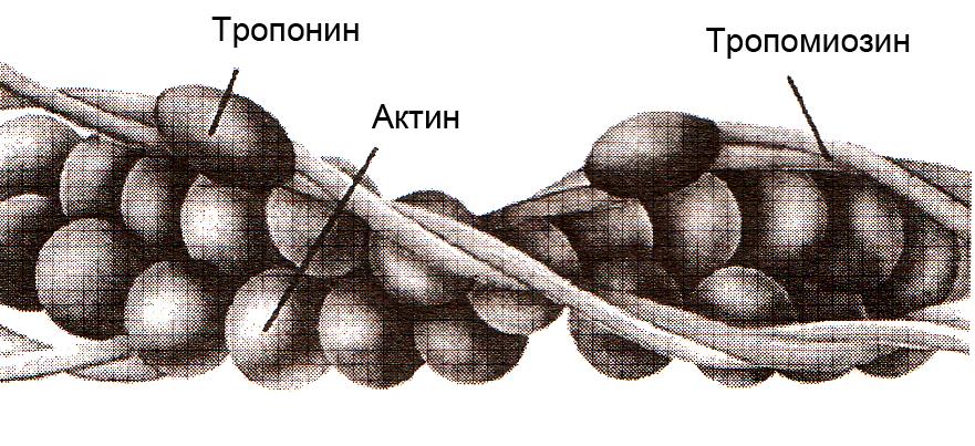 Состав и строение тонкого филамента