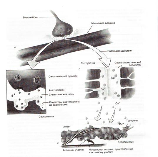 Сокращение скелетных мышц человека